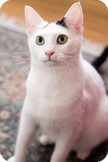 Domestic Shorthair Kitten for adoption in Chicago, Illinois - Snoop Kitty Kitty