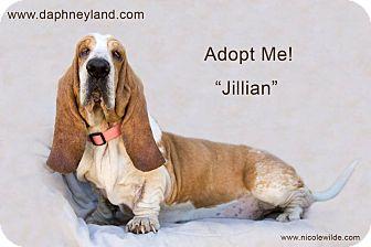 Basset Hound Dog for adoption in Acton, California - Jillian