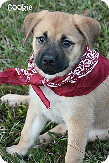 German Shepherd Dog/Labrador Retriever Mix Puppy for adoption in Cranford, New Jersey - Cookie
