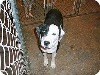 Labrador Retriever/Border Collie Mix Dog for adoption in Liberty Center, Ohio - Milo