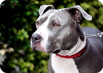 Staffordshire Bull Terrier Mix Dog for adoption in Woodland, California - Nalla Nilson