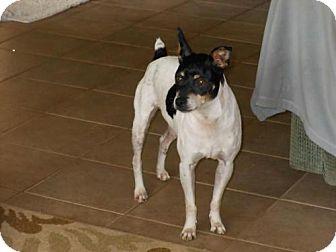 Rat Terrier Dog for adoption in El Cajon, California - Sammy