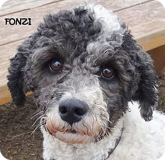 Poodle (Miniature)/Bedlington Terrier Mix Dog for adoption in Lapeer, Michigan - FONZI--EYYYYY!!! AVAIL 4/10