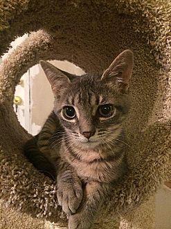 Domestic Shorthair Cat for adoption in Tampa, Florida - Smidge