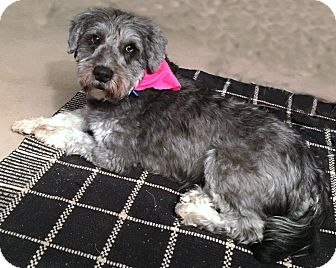 Bearded Collie Mix Dog for adoption in Sharonville, Ohio - Jackie