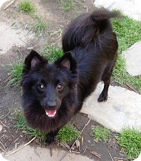 Pomeranian Dog for adoption in Buffalo, New York - Cole