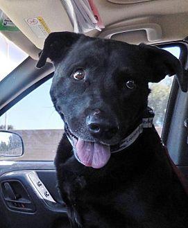 Labrador Retriever Mix Dog for adoption in San Diego, California - Townz