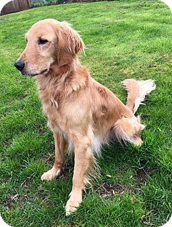 Golden Retriever Dog for adoption in Olympia, Washington - Chevy