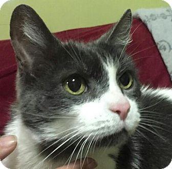 Domestic Shorthair Cat for adoption in Sunderland, Ontario - Buddy