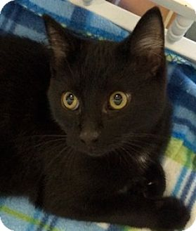 Domestic Shorthair Kitten for adoption in White Cloud, Michigan - Inkspot