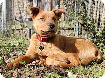 German Shepherd Dog/Labrador Retriever Mix Puppy for adoption in Memphis, Tennessee - Paulie
