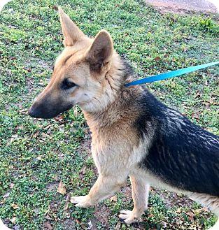 German Shepherd Dog Puppy for adoption in Anderson, South Carolina - Sherre'