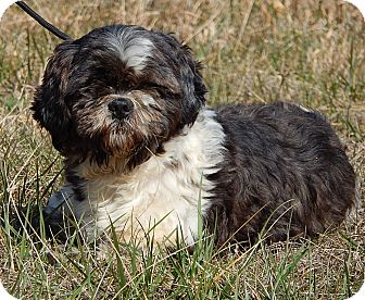 Shih Tzu/Japanese Chin Mix Dog for adoption in Burlington, Vermont - Buddy (13 lb) Perfect Boy!