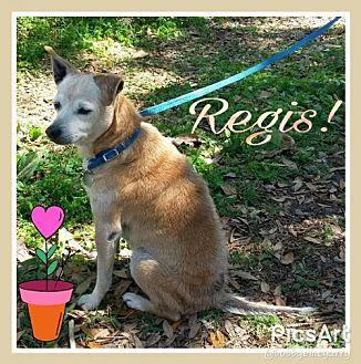 Beagle/Chihuahua Mix Dog for adoption in Ocala, Florida - Regis