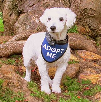 Poodle (Miniature) Dog for adoption in Redondo Beach, California - Wilkie is a lover!