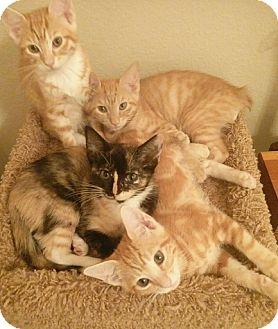 American Bobtail Kitten for adoption in Oviedo, Florida - Cosmo