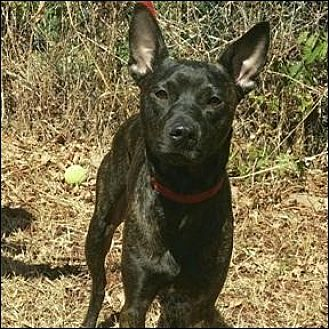 Australian Cattle Dog/Bull Terrier Mix Dog for adoption in Shreveport, Louisiana - Buddy 2