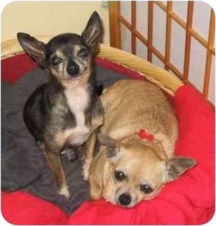 Chihuahua Mix Dog for adoption in San Diego, California - Zena