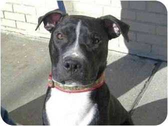 Labrador Retriever/American Pit Bull Terrier Mix Dog for adoption in Brooklyn, New York - Bradley