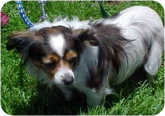Papillon/Sheltie, Shetland Sheepdog Mix Dog for adoption in Spring Valley, California - Bingo