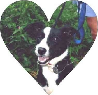 Border Collie Mix Dog for adoption in Baldwin, New York - Bella