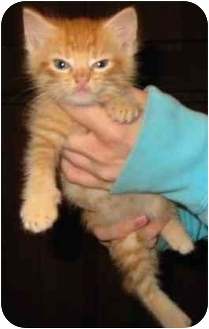 Domestic Shorthair Kitten for adoption in Crosby, Texas - KP-Cross/Banana