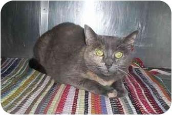 Domestic Shorthair Cat for adoption in Honesdale, Pennsylvania - Josie