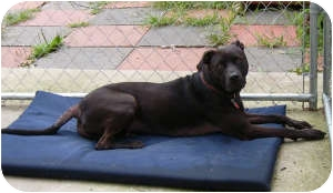 Pit Bull Terrier/Labrador Retriever Mix Dog for adoption in Port Jefferson Station, New York - Penny