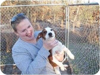 Beagle Mix Dog for adoption in Jackson Springs, North Carolina - Lil Red