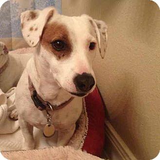 Jack Russell Terrier Mix Dog for adoption in San Antonio, Texas - Tulsa in San Antonio