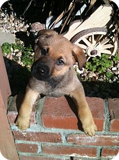 German Shepherd Dog/Rottweiler Mix Puppy for adoption in Tracy, California - Alvaro-ADOPTED!