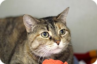 Domestic Shorthair Cat for adoption in Chicago, Illinois - Alyssa Micelli