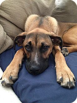 Rhodesian Ridgeback/Shepherd (Unknown Type) Mix Dog for adoption in west hollywood, California - Bella