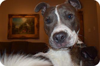 Boxer/American Bulldog Mix Dog for adoption in KITTERY, Maine - ROSCO