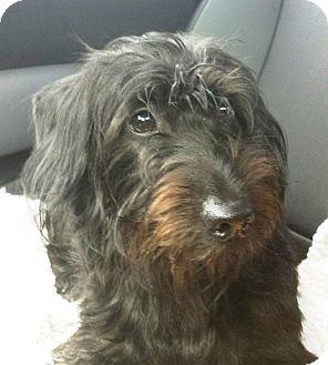 Dachshund Dog for adoption in Mary Esther, Florida - Gizmo