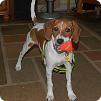Adopt A Pet :: Merri - Homewood, AL