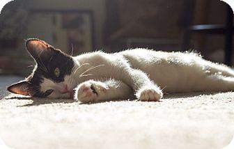 Domestic Shorthair Kitten for adoption in Warren, Michigan - Chachi