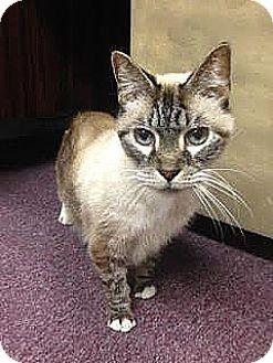 Siamese Cat for adoption in Lumberton, North Carolina - Oscar