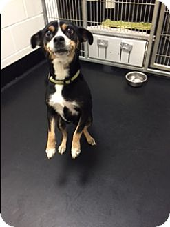 Chihuahua Mix Dog for adoption in Barnwell, South Carolina - Pixie