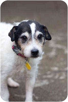 Jack Russell Terrier Dog for adoption in Portland, Oregon - Connie