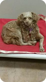 Spaniel (Unknown Type)/Chihuahua Mix Dog for adoption in Plymouth Meeting, Pennsylvania - Flor