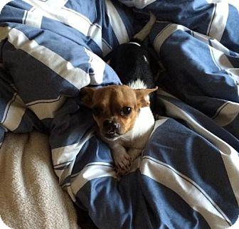Chihuahua Mix Dog for adoption in Hillsboro, Missouri - Lilly
