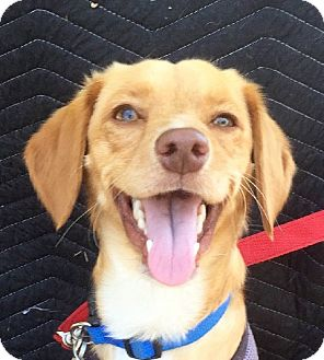 Spaniel (Unknown Type) Mix Dog for adoption in San Diego, California - ROCKY