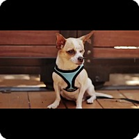 Adopt A Pet :: Patches-Handsome-Video! - Los Angeles, CA