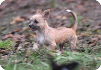 Cairn Terrier Mix Puppy for adoption in Tomball, Texas - Deanna