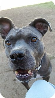 Pit Bull Terrier/American Staffordshire Terrier Mix Dog for adoption in Norman, Oklahoma - Sasha