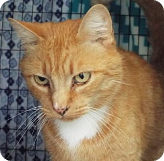 Domestic Shorthair Cat for adoption in Grants Pass, Oregon - Tony the Tiger