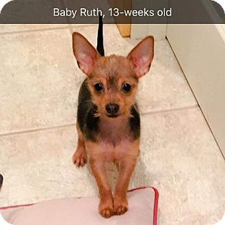"""Yorkie, Yorkshire Terrier/Chihuahua Mix Puppy for adoption in Seattle, Washington - *Puppy* """"Baby Ruth"""""""