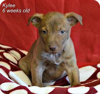 Labrador Retriever/Border Collie Mix Puppy for adoption in Yreka, California - Kylee