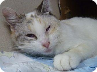 Siamese Cat for adoption in Hamburg, New York - Dove